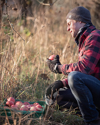 Kieran Holdsworth, Affinity Ciderhouse manager kneeling in orchard sorting red apples